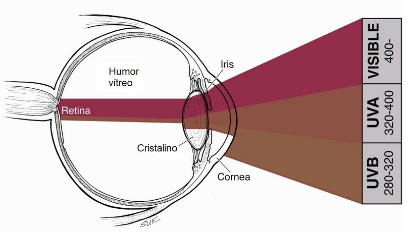 Luz que absorben las diferentes capas del ojo