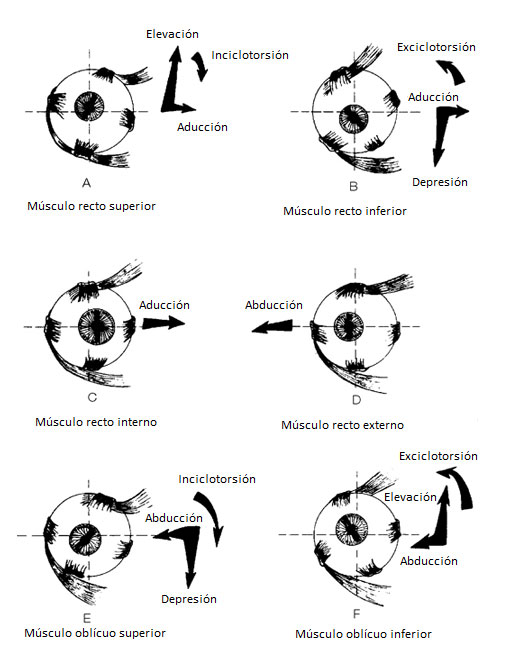 esquema-acciones-musculos-extraoculares